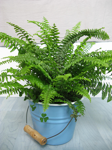 boston_fern