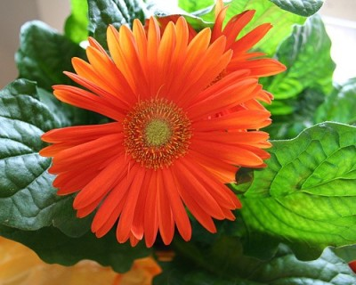 gerber_daisy
